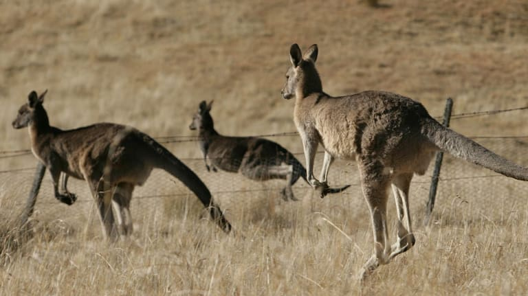 NSW farmers say shooting starving kangaroos is more humane than letting millions of them die a slow death.
