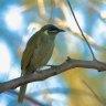 Australia identified as transmission hotspot for deadly bird disease