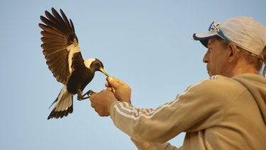 Bird handler Paul Manter trains one of eight magpies for the film Penguin Bloom.