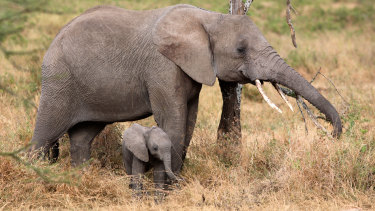 An African elephant and her calf in Tanzania.