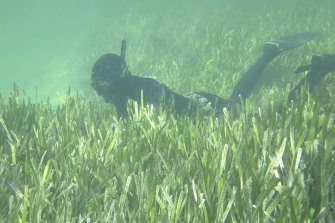 Healthy seagrass in Shark Bay.