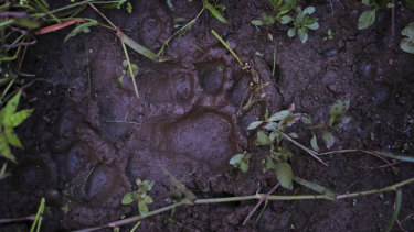 A fresh paw print from a tiger in the forest near Khairgaon village in India last month.