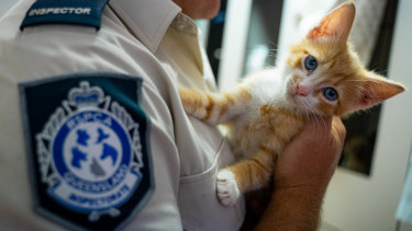 The rescued kitten in the hands of an RSPCA inspector.