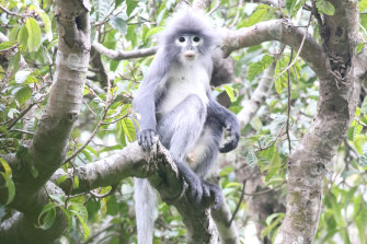 Endangered: A Popa langur, a primate that has been newly  identified as a separate species, that lives on Mount Popa in Myanmar.
