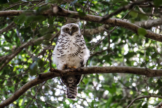 The powerful owl is the largest owl in Australia.