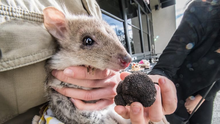 Brian the Bettong doing what he does best - looking cute.