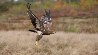 A steppe eagle flying over grassland.