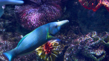 The Birdfish Wrasse is now male, with a stunning blue coat.