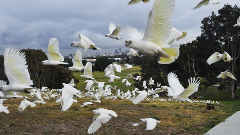 Little corellas, along with sulfer-crested cockatoos and rainbow lorikeets, are finding new habitats and following in the flight path of ibises.