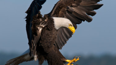 The political parties are acting like bald eagles locked in combat, falling towards earth.