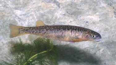 The stocky galaxias is a critically endangered freshwater fish inKosciuszko National Park.