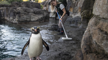 Marine mammal keeper Michelle Porter with Dusky following her while she cleans the Fiordland Crested Penguins enclosure at Taronga Zoo, Mosman.
