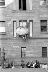 Sunfish specimen entering the museum gallery via the tallest available opening.