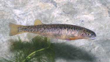 The stocky galaxias is a critically endangered freshwater fish in Kosciuszko National Park.