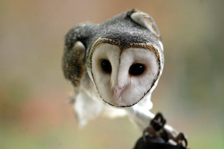 Very little is known about the elusive masked owl, which is one of the largest in the world.
