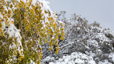 Snow blanketed Mt Buller on Thursday after a cold snap hit Victoria.