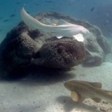 Albino and regular leopard sharks in Exmouth Gulf.