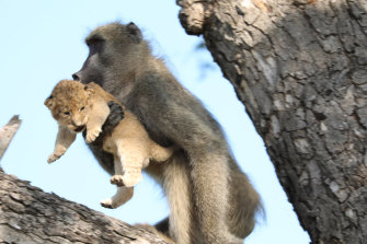A male baboon carries a lion cub in a tree in the Kruger National Park, South Africa. The baboon took the little cub into the tree and preened it as if it were his own, said safari ranger Kurt Schultz who said he has never seen such behaviour. The fate of the lion cub is unknown.