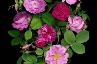 Fragrant antique roses.