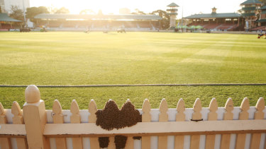 Bees swarm on the ground fencing during the match between NSW and Victoria at North Sydney Oval in Sydney, on Sunday.