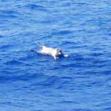 The body of a cow floats in waters about 120km north-west of Amami Oshima in the East China Sea, where rescuers have been looking for the Gulf Livestock 1.