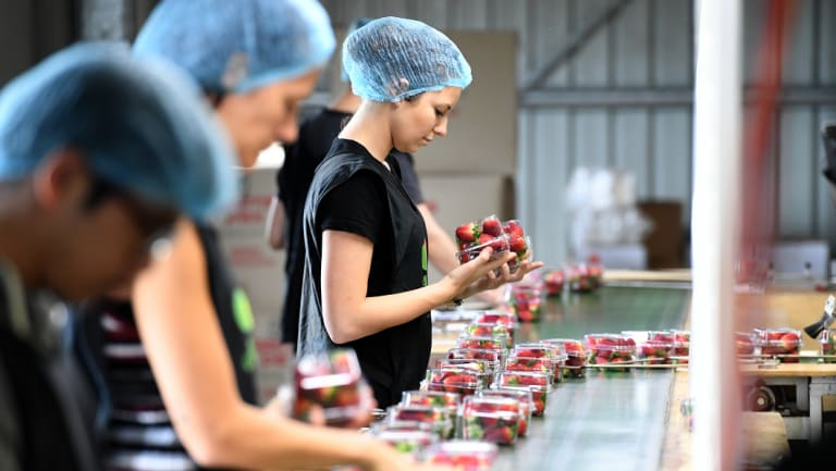 Workers perform a quality check on punnets of strawberries at Ashbern Farms on the Sunshine Coast in September 2018.