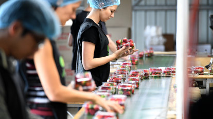 Strawberry farmers 'optimistic' for season after 2018 needle sabotage