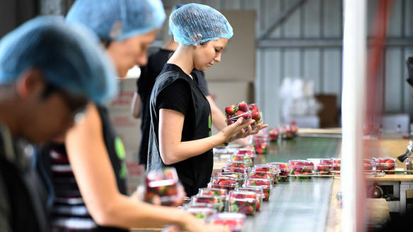 Queensland's strawberry industry takes financial hit after needles crisis