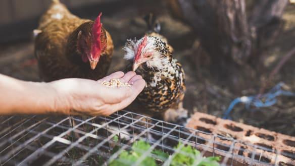 Kitchen Garden: 'salad bar' makes for a happy clucker