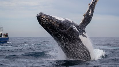 Not over the hump: Caution urged on ending endangered status for whales
