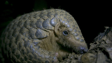 Thousands of pangolin scales were seized from traffickers in Uganda.