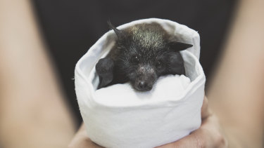 This endangered grey-headed flying fox was orphaned after his mother was caught in a barbed wire fence.