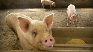 African swine fever is wiping out China's herd and driving up pork prices.
