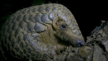 A Chinese pangolin rests on a tree branch at a wildlife rescue centre in Vietnam.