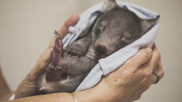 Orphaned wombat Adelaide catches up on her beauty sleep.