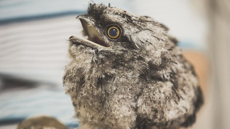Baby tawny frogmouths can be particularly demanding house guests.