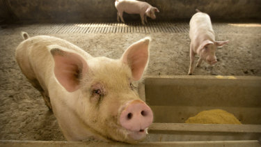 Swine fever is wiping out pigs across Asia and Europe and threatens to decimate Australia's $2.8 billion pork industry.