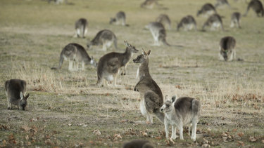 Q fever can be spread through dust and dirt as well as via livestock, pets and even kangaroo poo.