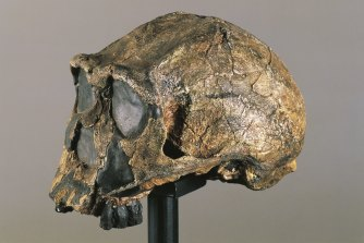 A fossil found in Kenya of Homo erectus, an extinct human relative that lived on the African continent about 1 million years ago.