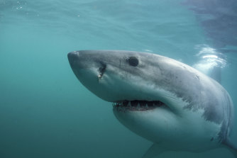 White sharks off the NSW coastline have been found to have some surprisingly varied feeding habits, scientists say.