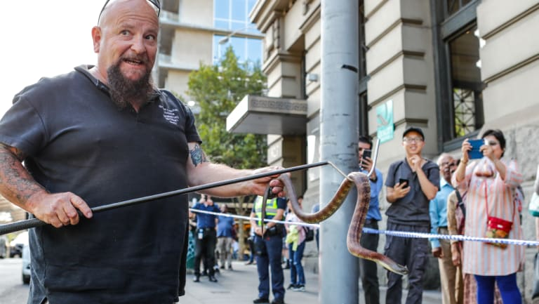 A tiger snake nearly one metre in length was found on the corner of Collins and Spencer streets in Melbourne's CBD in February. It was caught by snake catcher Barry.