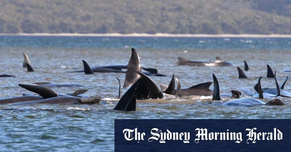 'Like a whale graveyard': one third of stranded whales off Tasmania dead – Sydney Morning Herald