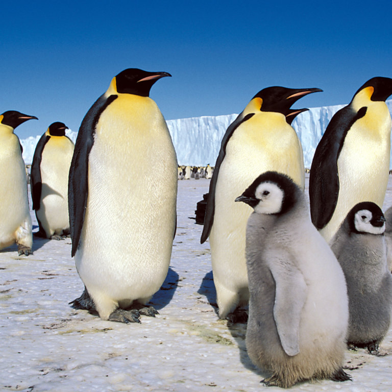 Emperor penguins and their chicks in Antarctica in a file picture.