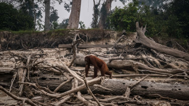 lllegal blazes to clear land for agricultural plantations have raged across Indonesia's Sumatra and Borneo islands, threatening the orangutan population.