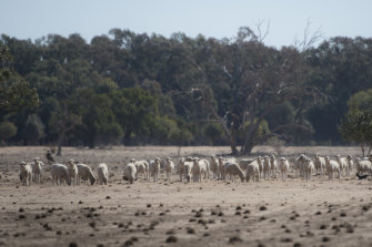 Sheep scratch around for remaining grass amid the dusty paddocks near Warren.