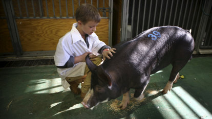 'Tip-top shape': Royal Easter Show wins for eight-year-old's pig
