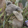 Koala recovery plan five years overdue as populations are 'smashed'