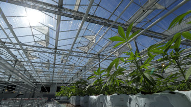 Marijuana plants growing in a massive tomato greenhouse being renovated to grow pot in Delta, British Columbia.