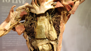 Details of a human body as seen at the Real Bodies exhibition at Kennedy Hall.
