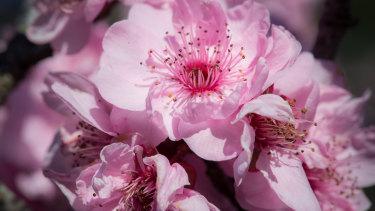 The blossoms include cherry plums (Prunus blireana), Japanese flowering cherry (P.x serrata), Taiwan cherry (P. campanulata), purple cherry plum (P. cerasifera 'Nigra') and peach (P. persica).